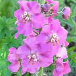 Photo Ornamental Mullein, Verbascum, lilac