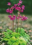 Photo Cortusa, Alpine Bells, pink