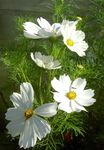 Photo Cosmos, white