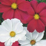 Photo Cosmos, red