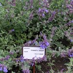 Photo Cat mint, purple