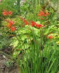 Photo Crocosmia, red
