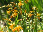 Photo Crocosmia, yellow