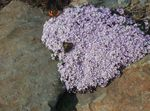 Photo Stonecress, Aethionema, lilac