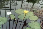 Photo Water lily, yellow