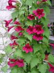 Photo Twining Snapdragon, Gloxinia Rampante, rouge