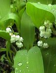 Photo Lily of the valley, May Bells, Our Lady's Tears, white