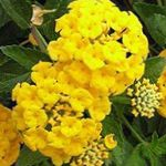 Photo Lantana, yellow