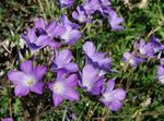 Photo Linum perennial, lilac