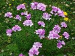 Photo Linum perennial, pink