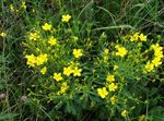 Photo Linum perennial, yellow