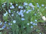 Photo Linum perennial, light blue