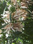 Photo Lion's ear, Lion's Tail, Wild Dagga, white