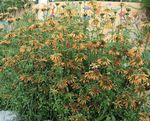 Photo Lion's ear, Lion's Tail, Wild Dagga, orange