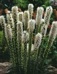 Photo Gayfeather, Blazing Star, Button Snakeroot, white