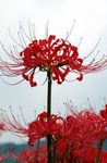 Photo Spider Lily, Surprise Lily, red
