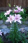 Photo Lily The Asiatic Hybrids, lilac