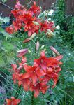 Photo Lily The Asiatic Hybrids, red