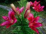 Photo Lily The Asiatic Hybrids, burgundy
