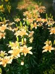 Photo Lily The Asiatic Hybrids, orange