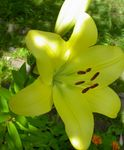 Photo Lily The Asiatic Hybrids, yellow