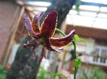 Photo Martagon Lily, Common Turk's Cap Lily, burgundy