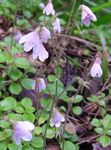 Twinflower