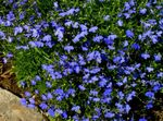 Photo Edging Lobelia, Annual Lobelia, Trailing Lobelia, blue