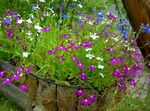 Photo Edging Lobelia, Annual Lobelia, Trailing Lobelia, purple