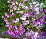 Photo Edging Lobelia, Annual Lobelia, Trailing Lobelia, lilac