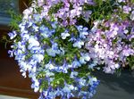 Photo Edging Lobelia, Annual Lobelia, Trailing Lobelia, light blue