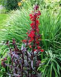 Photo Cardinal flower, Mexican lobelia, red