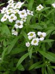 Photo Sweet Alyssum, Sweet Alison, Seaside Lobularia, white