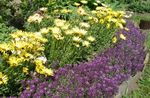 Photo Sweet Alyssum, Sweet Alison, Seaside Lobularia, purple