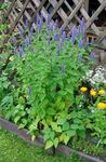 Photo Agastache, Hybrid Anise Hyssop, Mexican Mint, light blue