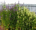 Photo Agastache, Hybrid Anise Hyssop, Mexican Mint, white