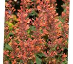 Photo Agastache, Hybrid Anise Hyssop, Mexican Mint, orange