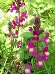Photo Linaria bipartita, pink