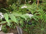 Photo False Lily of the Valley, Wild Lily of the Valley, Two-leaf False Solomon's Seal, white