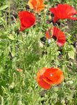 Photo Corn Poppy, red
