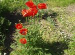 Photo Oriental poppy, red