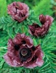 Photo Oriental poppy, burgundy
