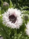 Photo Oriental poppy, white