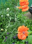 Photo Oriental poppy, orange