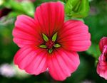 Photo Malope, red