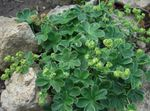 Photo Lady's mantle, green