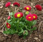 Photo Bellis daisy, English Daisy, Lawn Daisy, Bruisewort, red