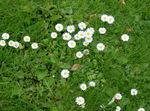 Photo Bellis daisy, English Daisy, Lawn Daisy, Bruisewort, white