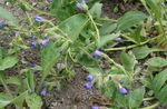 Photo Lungwort, blue