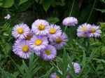 Photo Seaside Daisy, Beach Aster, Flebane, lilac